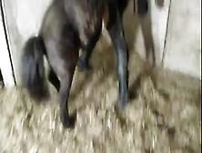 Zoofilia Coroa Aguentando Firme Do Cavalo